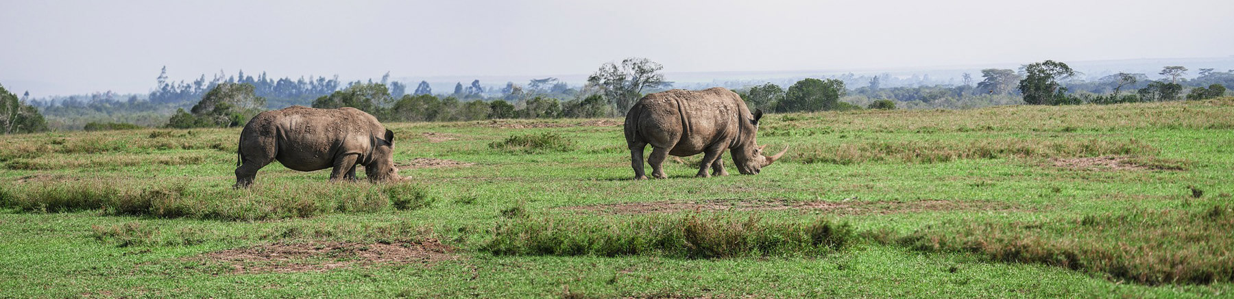 Two rhinoceros eating grass in Kenya